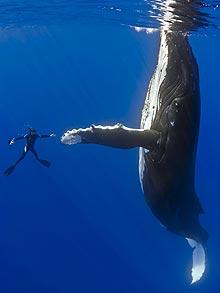 humpback-whale1_1464958f